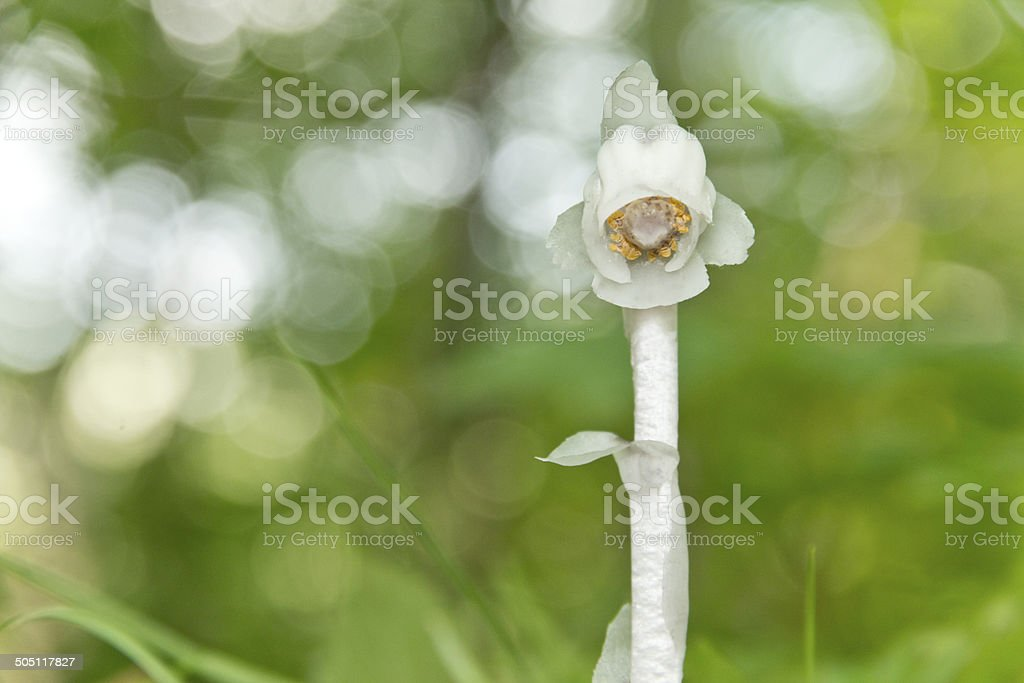 Indian Pipe royalty-free stock photo