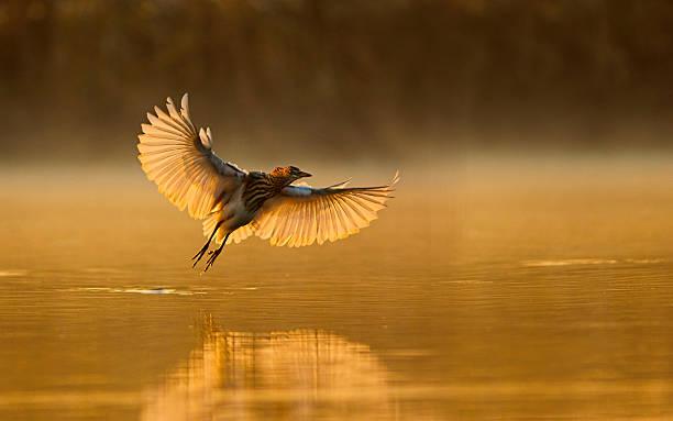 Indian pond heron picture id512173630?b=1&k=6&m=512173630&s=612x612&w=0&h=nhskhfxn35tt3r1l 9ceusu n9g9i uxvctthshrkqc=