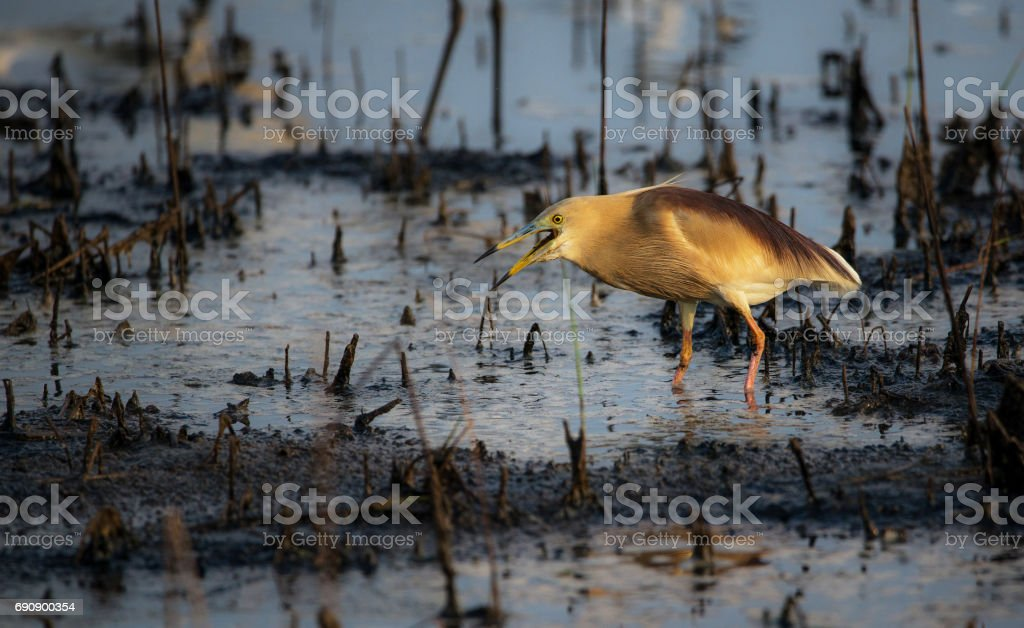 Indian Pond Heron (Paddy bird) stock photo