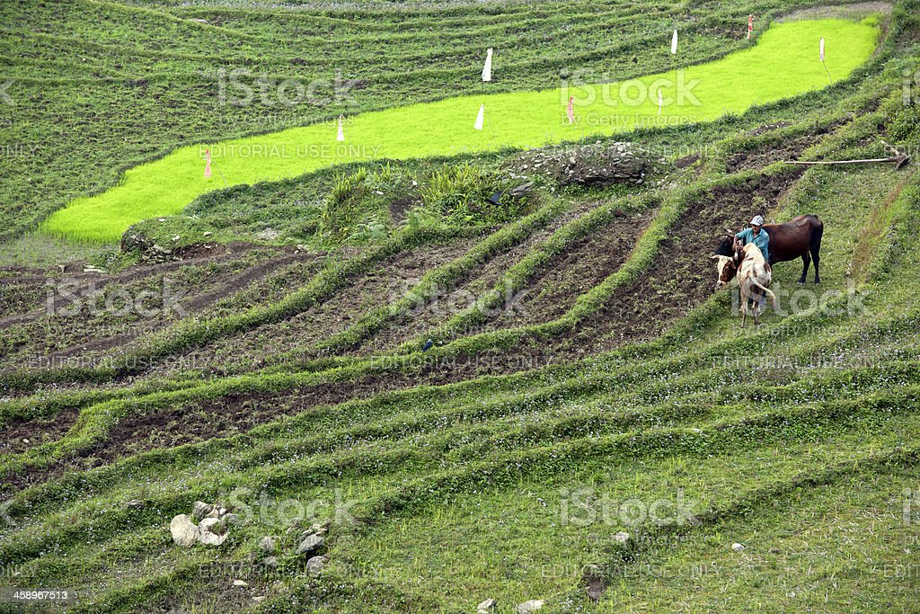 Indian Preparing Oxes for Ploughing Sikkim royalty-free stock photo