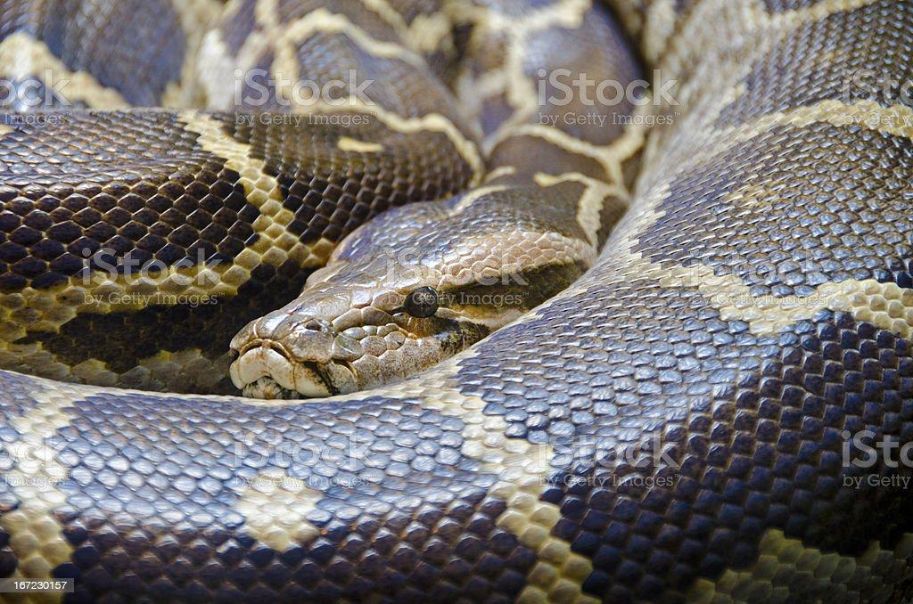 Indian python, Python molurus stock photo