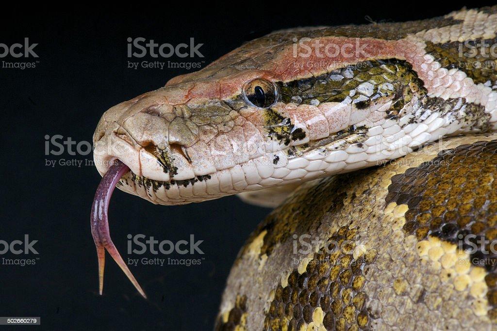 Indian python / Python molurus stock photo