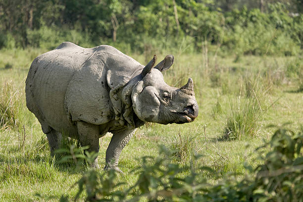 Indian Rhino bull stock photo