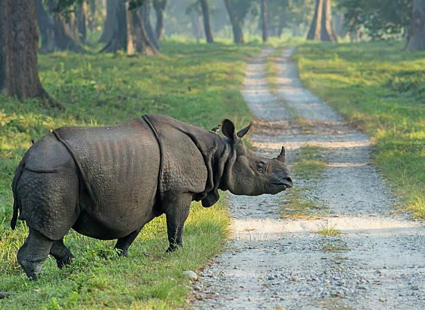 indische nashorn, jaldapara nationalpark - revierverhalten stock-fotos und bilder