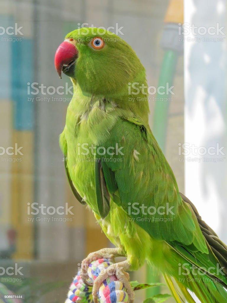 Indian Ringneck Parakeet Green Parrot With Red Beak Stock Photo