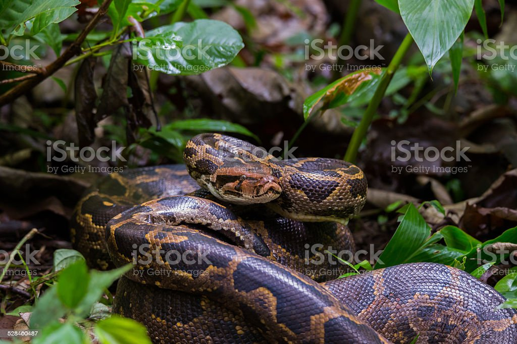 Indian rock python on forest floor stock photo