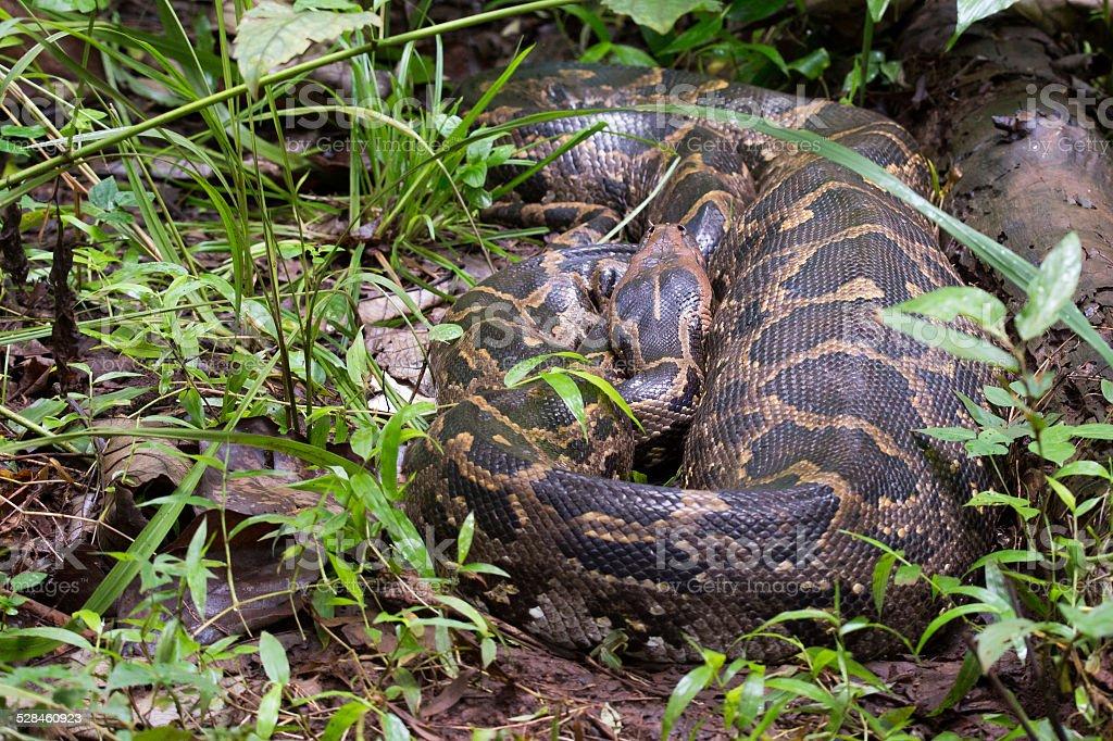 Indian Rock python stock photo