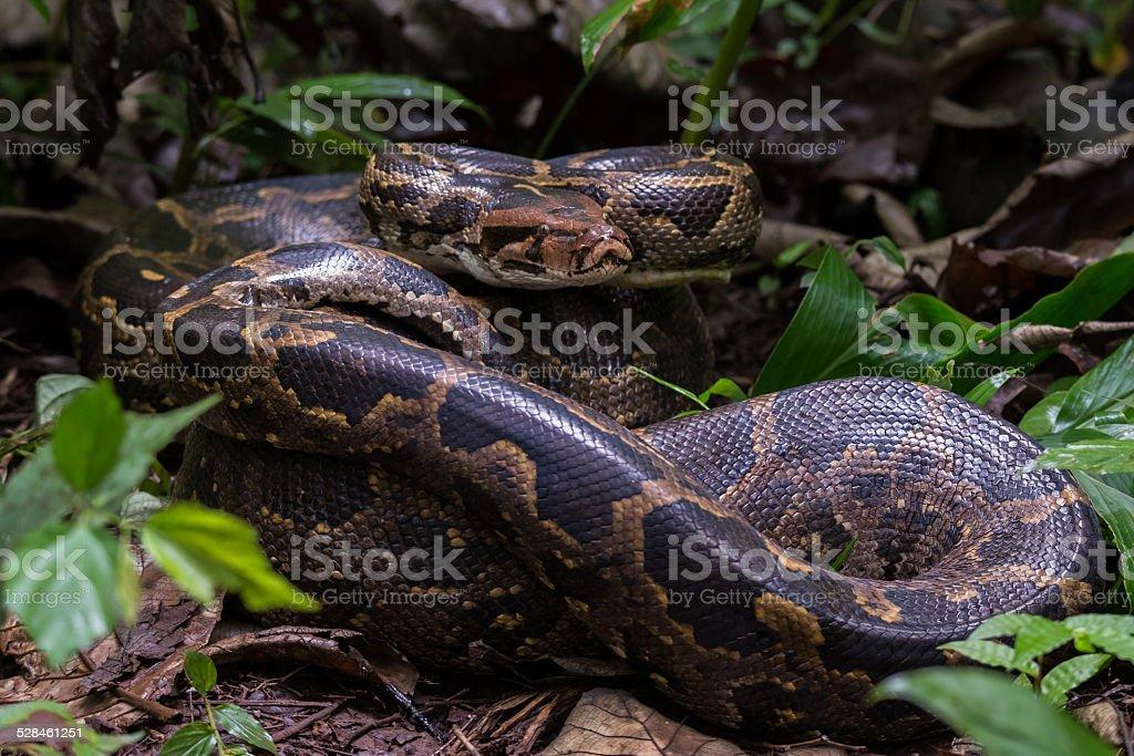 Indian rock python portrait stock photo