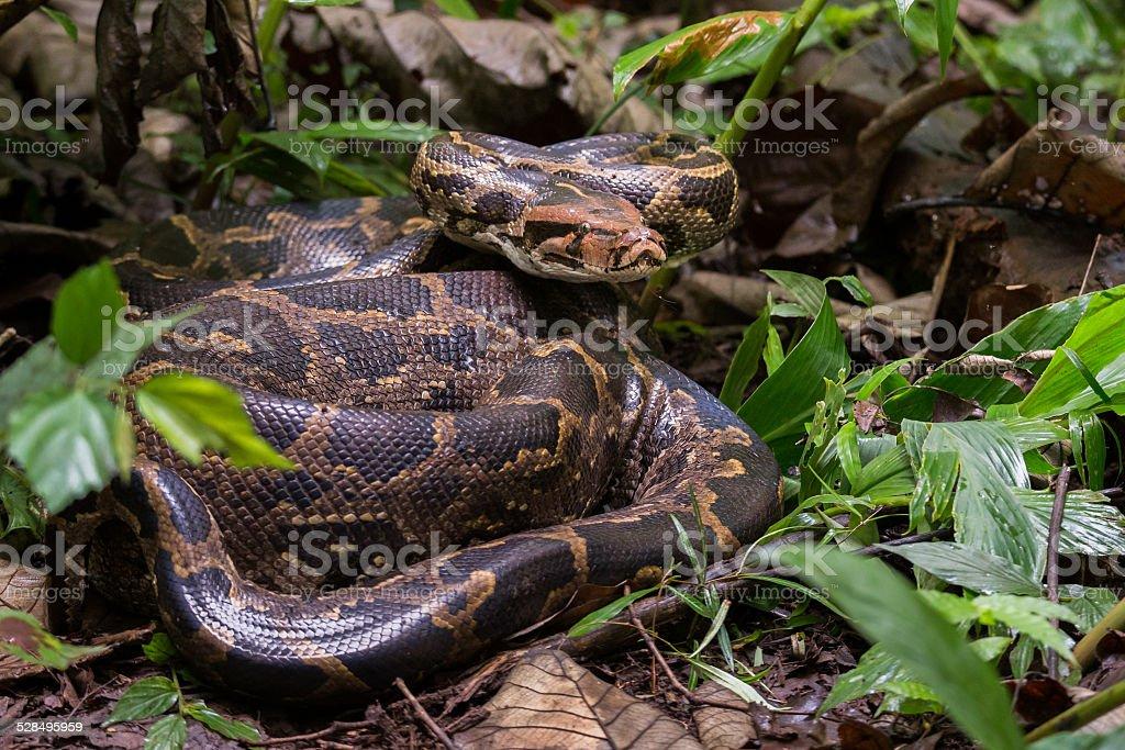 Indian rock python profile stock photo