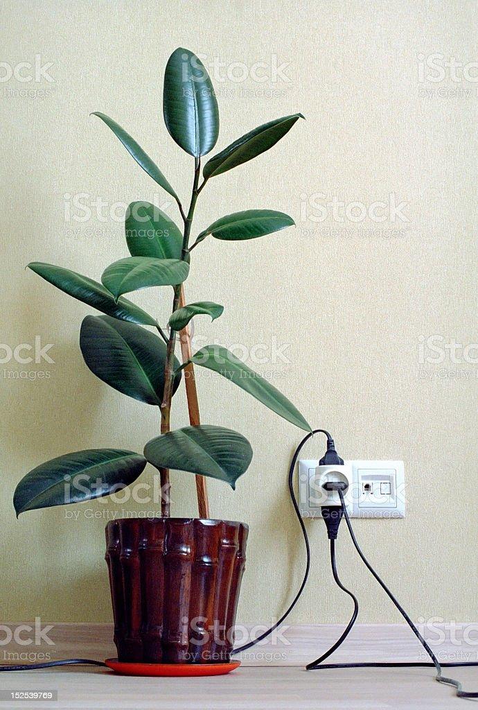 Árvore-da-borracha em casa - foto de acervo