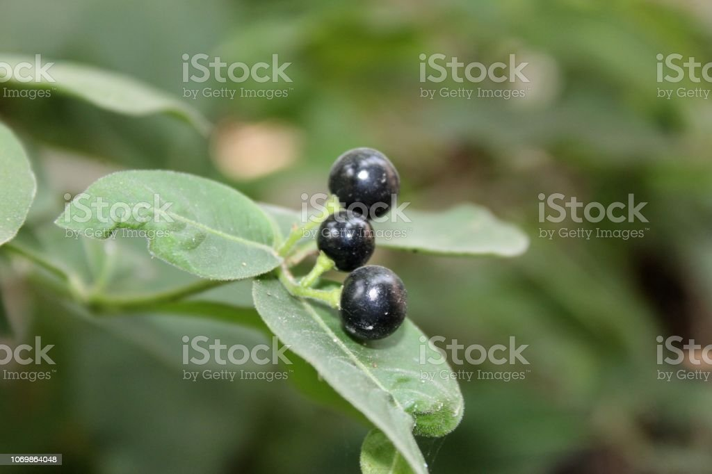 Indian Snakeroots Leaves And Fruits Other Names English Serpentine
