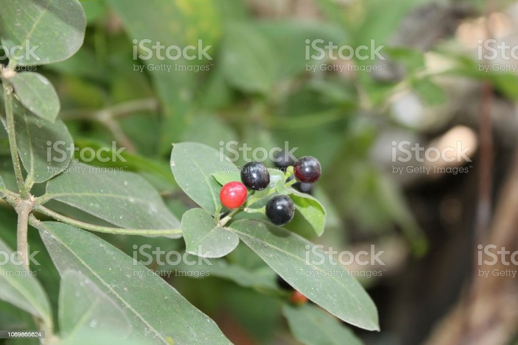 Indian Snakeroots Leaves And Fruits Other Names English