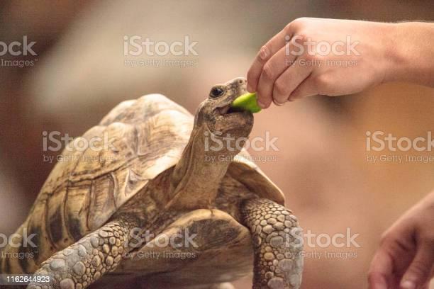 Indian star tortoise geochelone elegans picture id1162644923?b=1&k=6&m=1162644923&s=612x612&h=0mrqehh0s oeyux8xr wka lzelnwjrid5nfv2ruqru=
