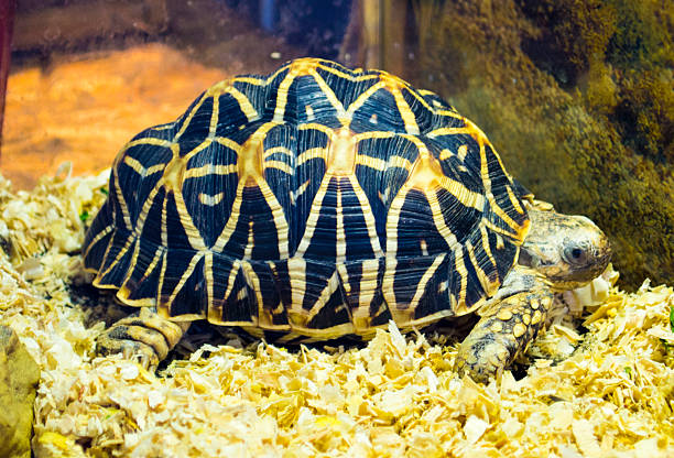 Indian star tortoise. Turtle. Little turtle endangered. Turtle animal. Indian star tortoise. Turtle. Little turtle endangered. Turtle animal. caenorhabditis elegans stock pictures, royalty-free photos & images