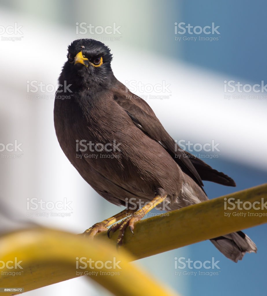 Indian starling in the city stock photo