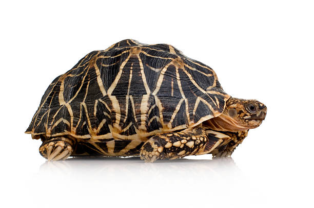 Indian Starred Tortoise - Geochelone elegans Indian Starred Tortoise - Geochelone elegans in front of a white background. caenorhabditis elegans stock pictures, royalty-free photos & images