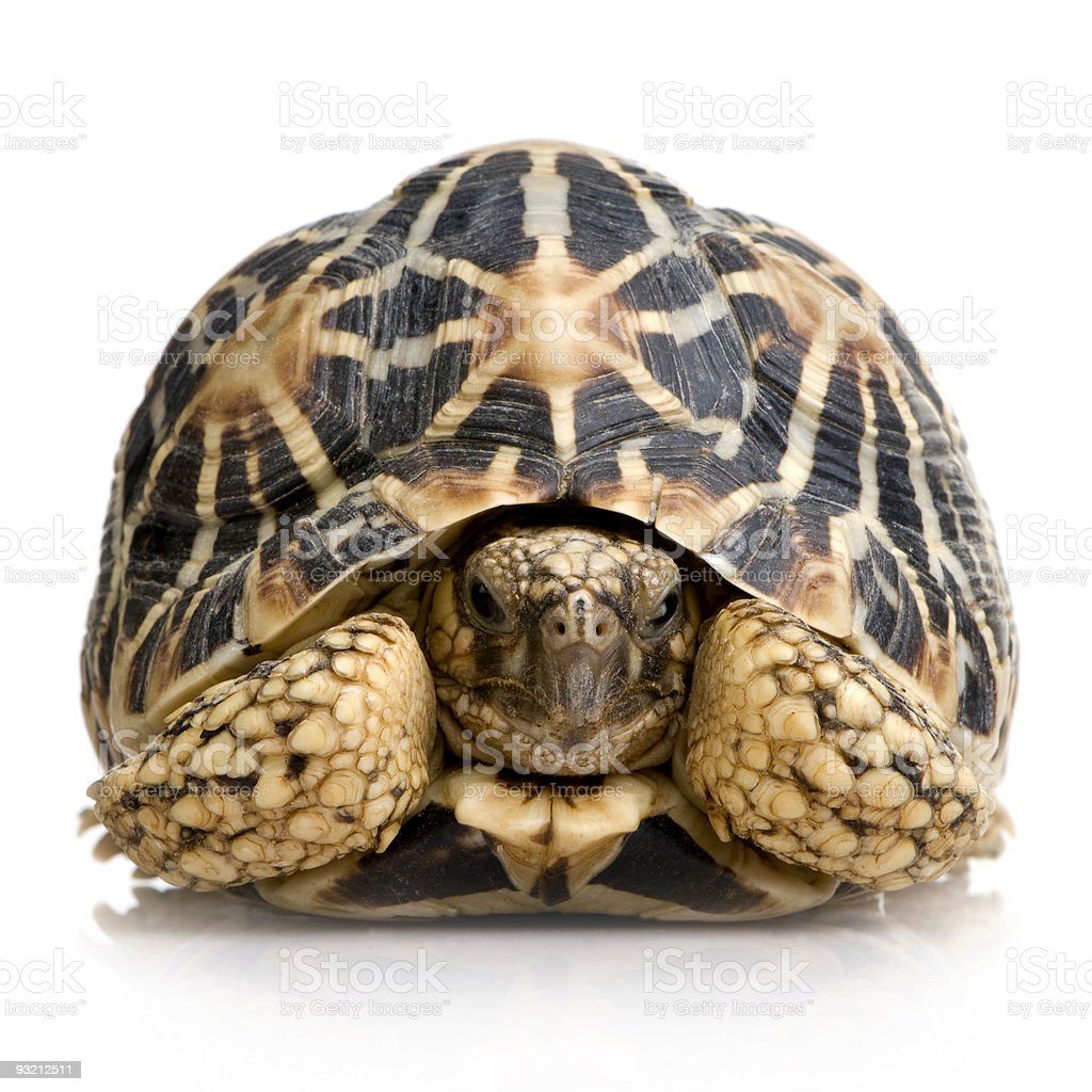 Indian Starred Tortoise - Geochelone elegans royalty-free stock photo