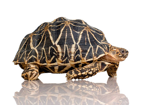 Indian Starred Tortoise - Geochelone elegans  caenorhabditis elegans stock pictures, royalty-free photos & images