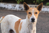 Indian Street Stray Dogs With Ears Straight Upwards and Frowned With Anger Looking At Camera