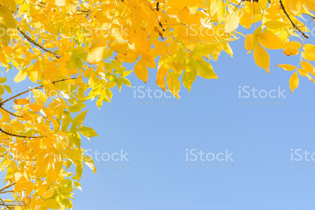 Indian summer gold yellow autumn leaves over clear blue sky stock photo