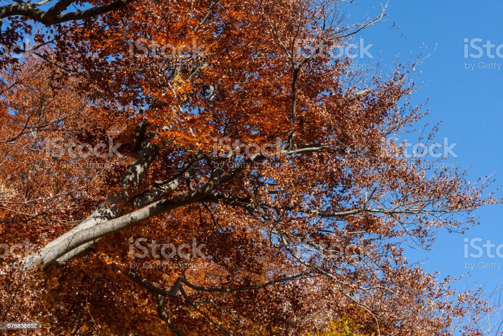 indian summer in south germany with autumn landscape, colorful leafs and branches on single and all beech trees in a forest on a mountain royalty-free stock photo