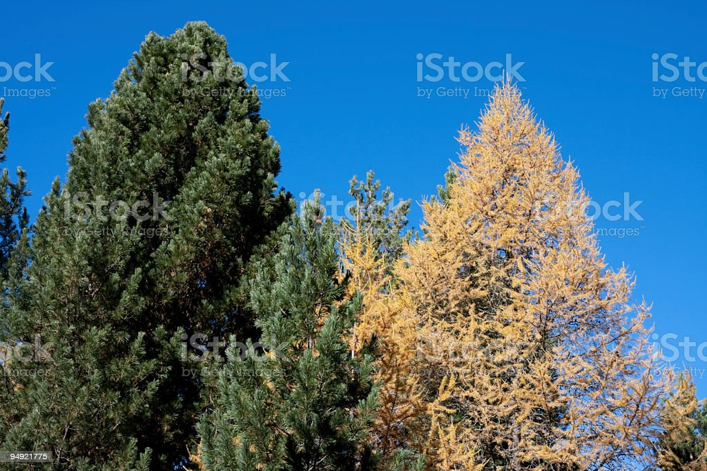 Indian Summer with Pine and European Larch in Engadine, Switzerland royalty-free stock photo