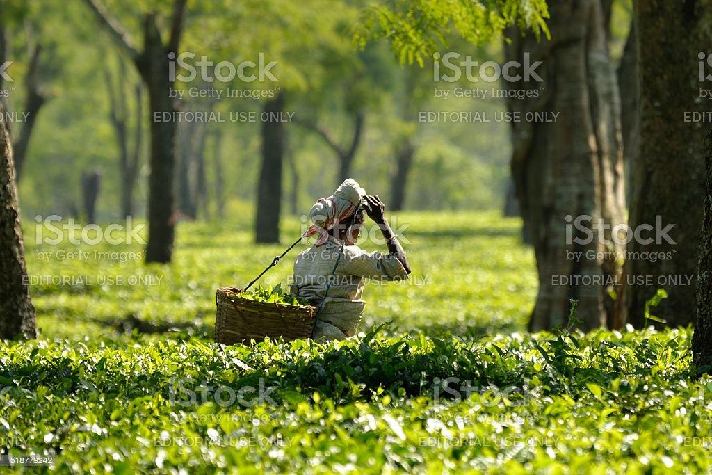 Indian Tea harvest stock photo