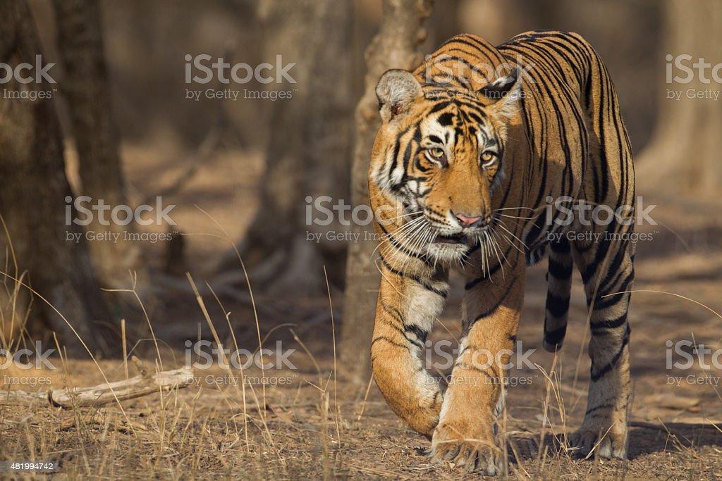 Indian Tiger, India stock photo