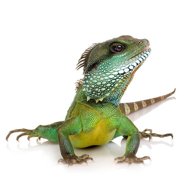 인도어 중국물용도마뱀-워터드래곤속 cocincinus - 파충류 뉴스 사진 이미지