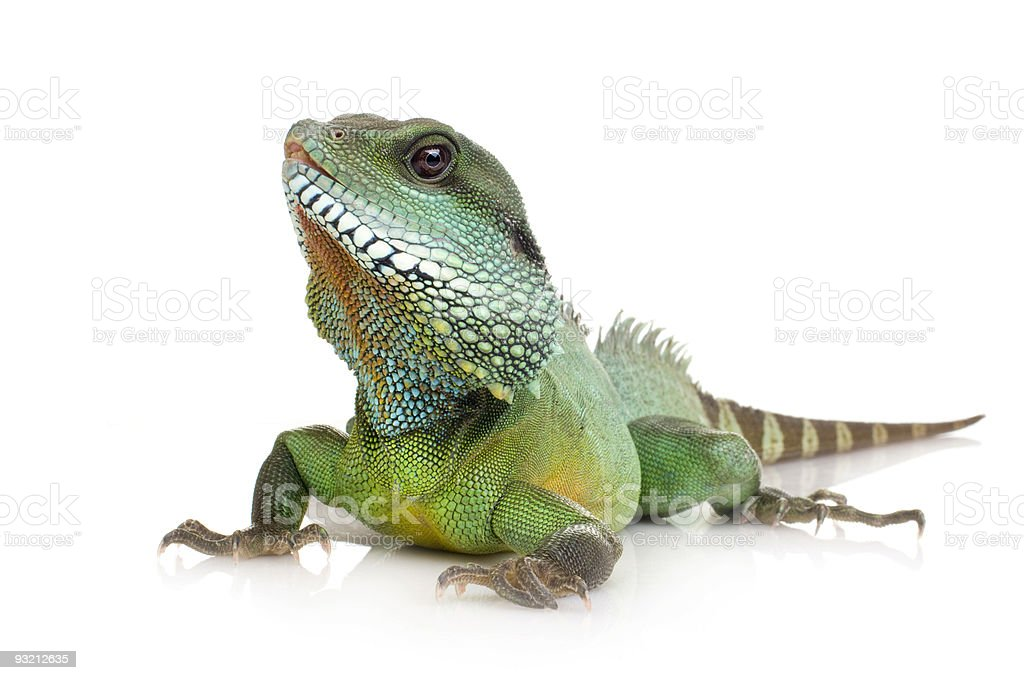 Indian Water Dragon - Physignathus cocincinus stock photo