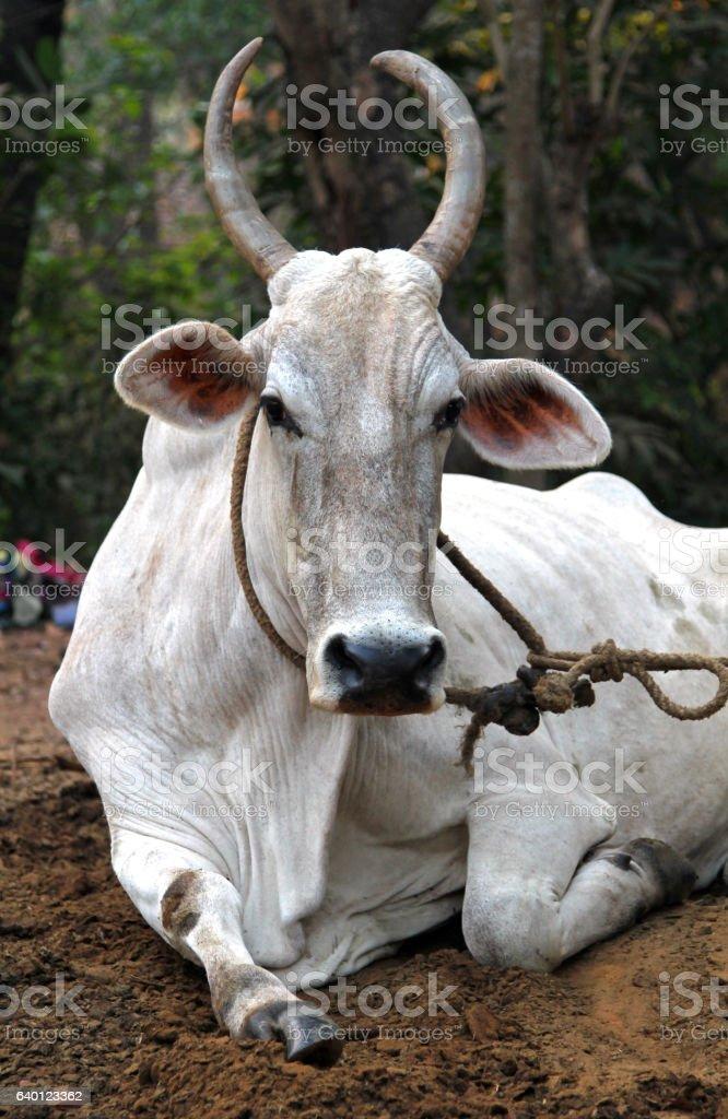 Indian white cow resting on the ground, Goa foto