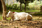 Indian sacred white cow zebu lies peacefully in the rainforest. Indian holy cow. Beautiful Indian village scenery with snow-white cow