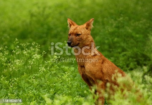 Indian wild dog or Dhole, Cuon alpinus, Nagarhole National park Karnataka, India.