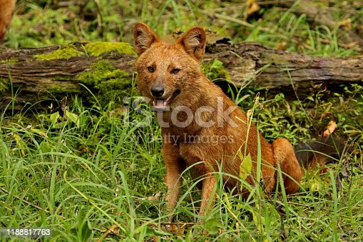 Indian Wild Dog or Dhole, Cuon alpinus , Nagarhole National park Karnataka, India