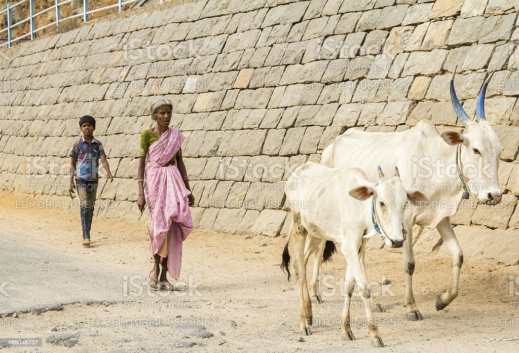 Indian woman with cattle, Tamil Nadu royalty-free stock photo