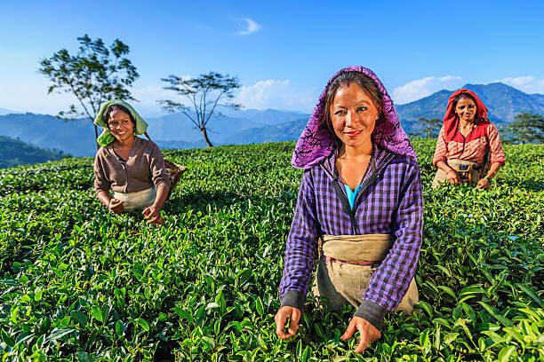 indische frauen rupfen teeblätter in der darjeeling, indien - darjeeling tee stock-fotos und bilder