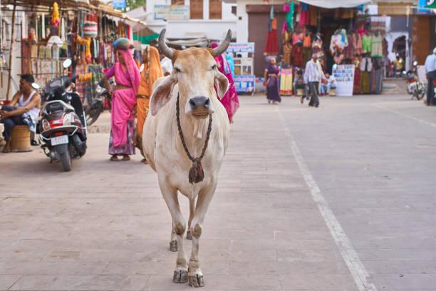 Indian_cow_Pushkar – Foto