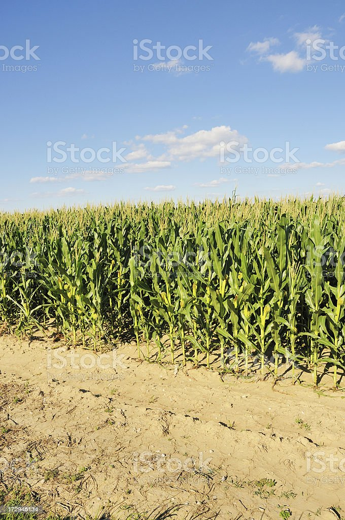 Indiana Cornfield in July stock photo