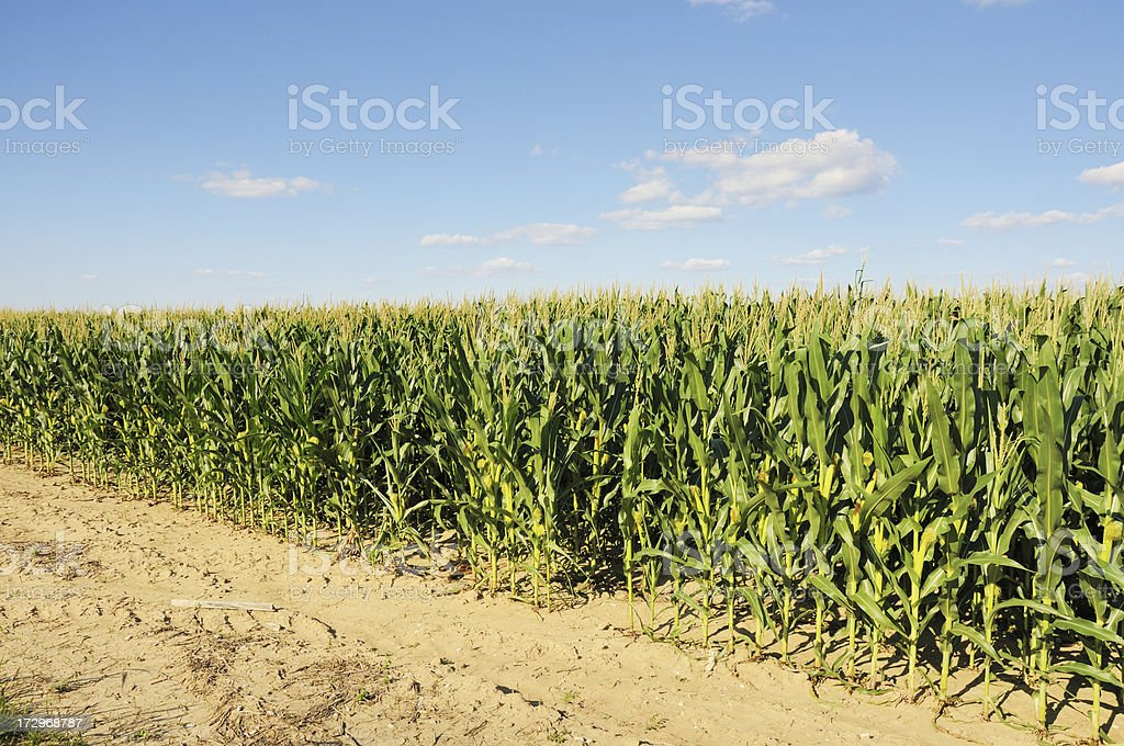 Indiana Farm Cornfield stock photo