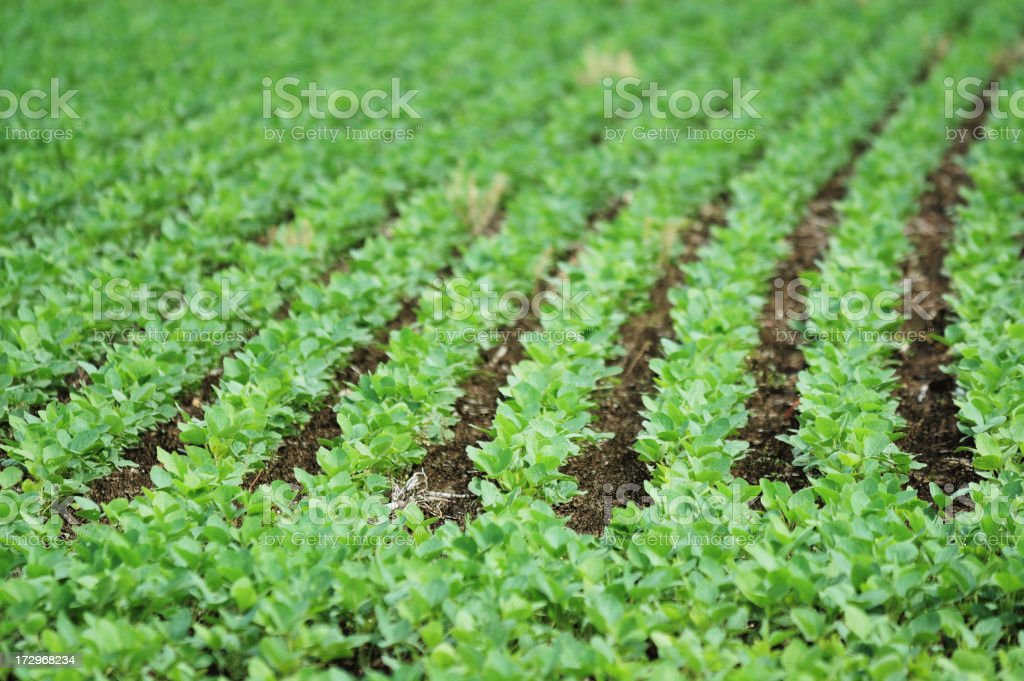 Indiana Soybean Field Rows stock photo