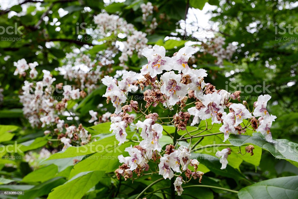 Indian-bean-tree (Catalpa bignonioides) stock photo