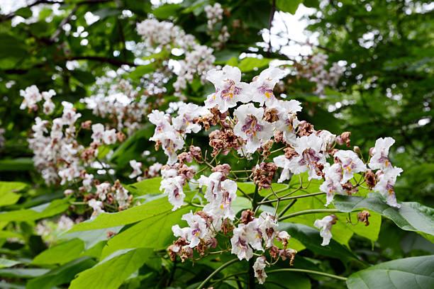 indian-bean-tree (catalpa bignonioides) - trompetenbaum stock-fotos und bilder