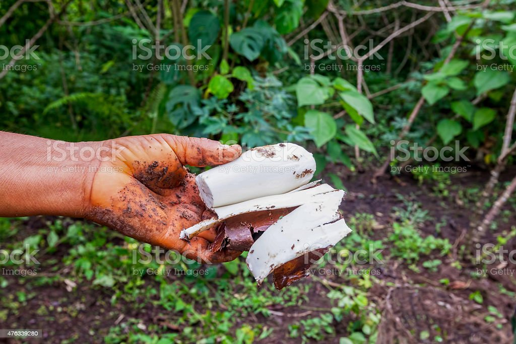 Indigenous Woman Picking Yucca From The Garden stock photo