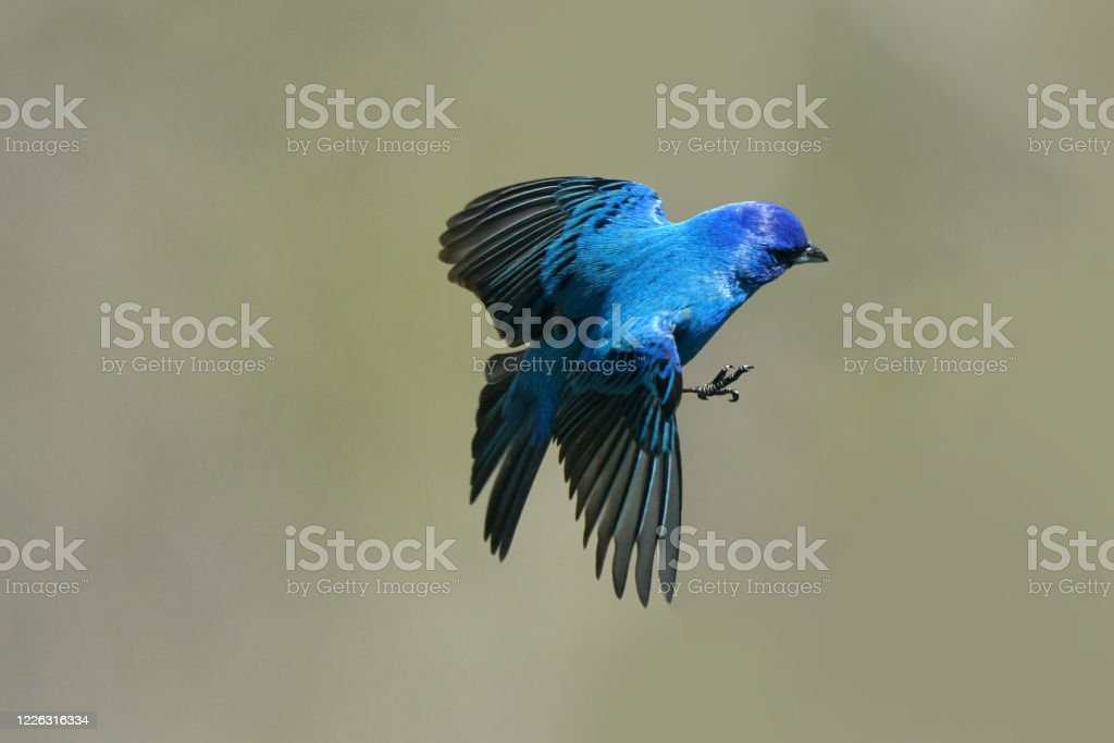 Indigo Bunting Flying And Perching Stock Photo - Download ...