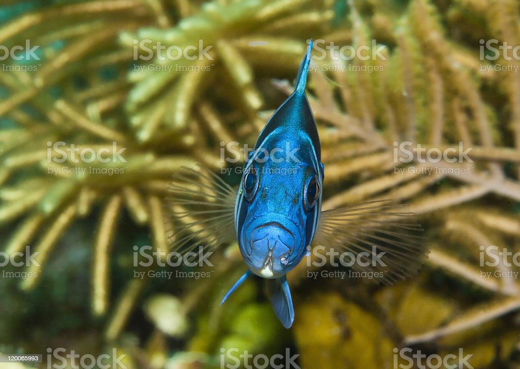 Indigo Hamplet fish stock photo