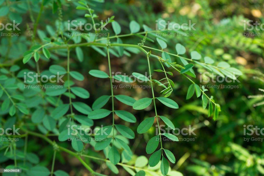 Indigofera tinctoria ( basma ) in garden. stock photo