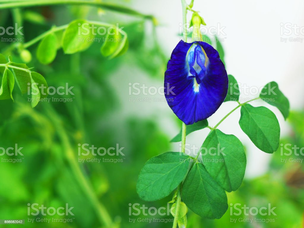 Individual Butterfly Pea flower, green bush white wall background stock photo