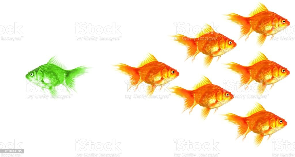 individual goldfish goldfish showing discrimination success individuality leadership or motivation concept Challenge Stock Photo