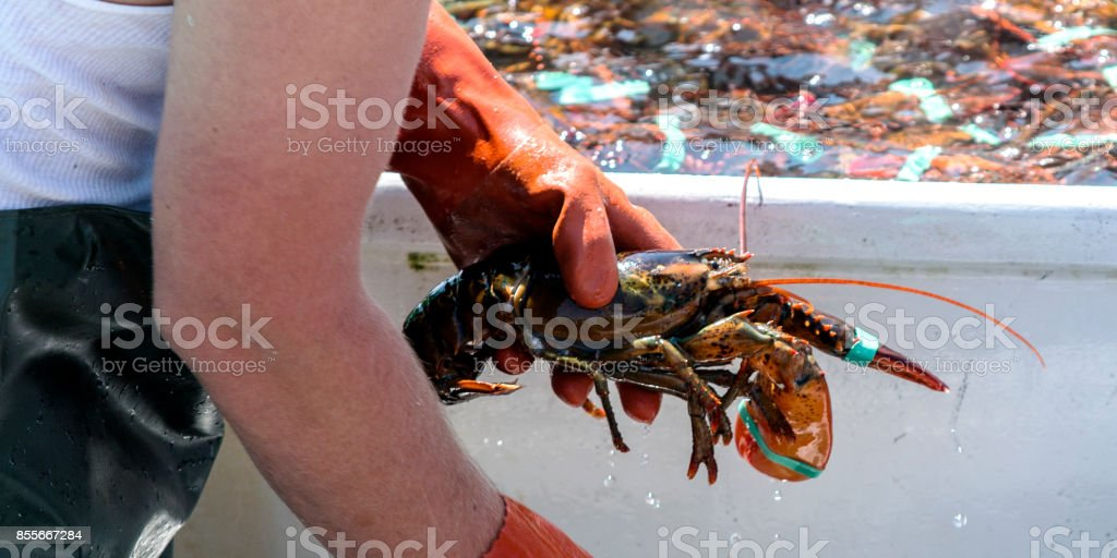 Individual live lobster being sorted at the end of the day stock photo