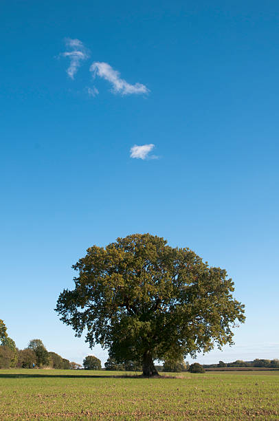 individual oak tree stands against blue sky stock photo